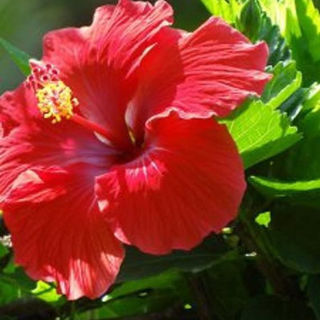 Picture of Hibiscus Red