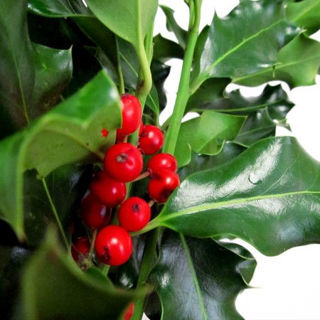 Picture of Holly Variegated 10# Case