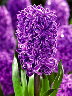 Picture of Hyacinth Purple 4 Bulbs/Pot