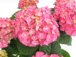 Picture of Hydrangea Pink Sensation