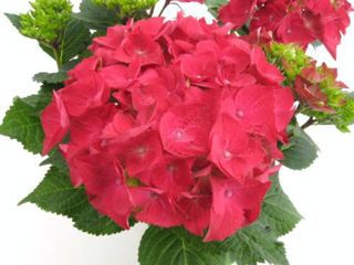 Picture of Hydrangea Red Hot