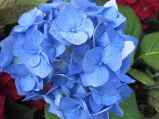 Picture of Hydrangea Standard Blue