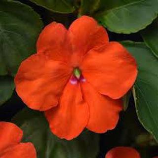 Picture of Impatiens Beacon Orange