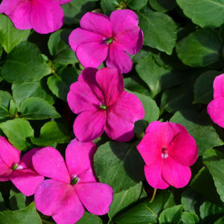 Picture of Impatiens Beacon Violet Shades