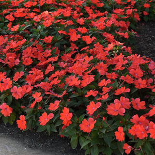 Picture of Impatiens Bounce Bright Coral