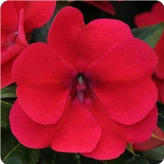 Picture of Impatiens Bounce Cherry