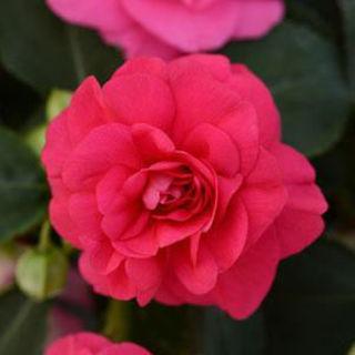 Picture of Impatiens Fiesta Bonita Rose