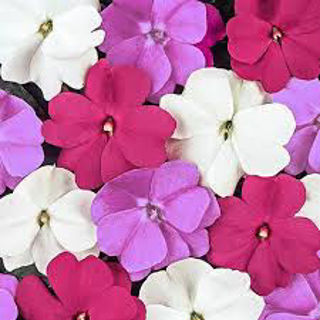 Picture of Impatiens NG Super Sonic Assorted
