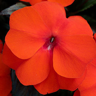 Picture of Impatiens NG Super Sonic Flame Orange