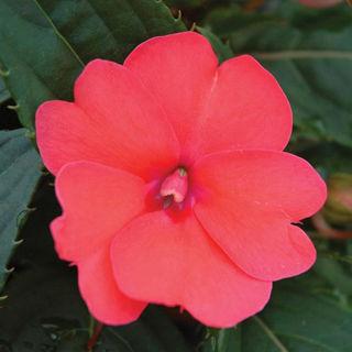 Picture of Impatiens Sun Comp Deep Rose