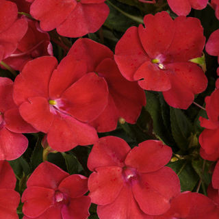 Picture of Impatiens Sun Comp Fire Red