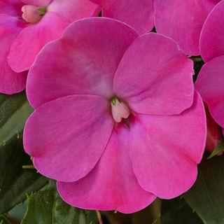 Picture of Impatiens Sun Comp Lilac