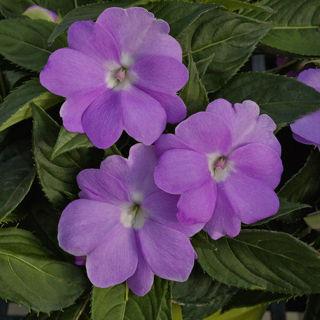 Picture of Impatiens Sun Comp Orchid