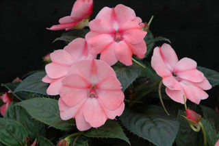 Picture of Impatiens Sun Comp Pink