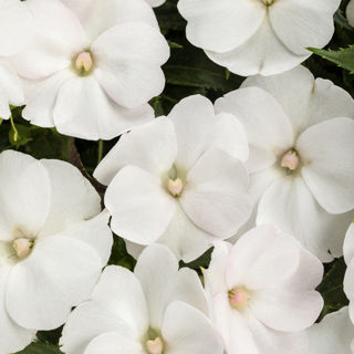 Picture of Impatiens Sun Comp White