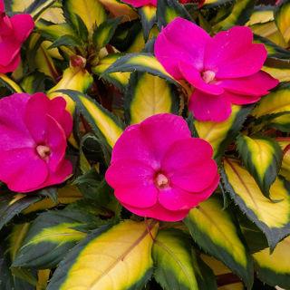 Picture of Impatiens Sun Tropical Rose Bicolor