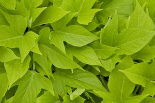 Picture of Ipomoea Sweet Georgia Light Green