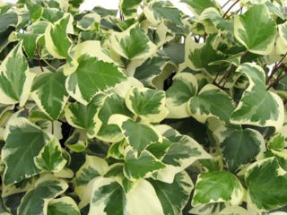 Picture of Ivy Algerian Variegated