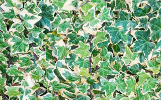 Picture of Ivy English Variegated