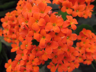 Picture of Kalanchoe Orange