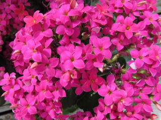 Picture of Kalanchoe Purple