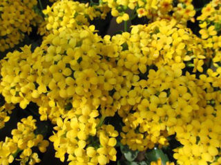Picture of Kalanchoe Yellow