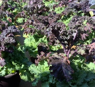Picture of Kale Mixed Planter 14
