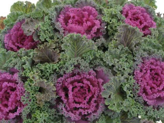 Picture of Kale Nagoya Red