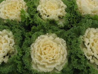Picture of Kale Nagoya White