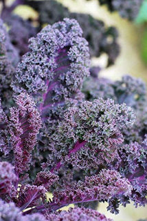 Picture of Kale Scarlet Bor