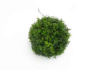 Picture of Kissing Ball Boxwood 12