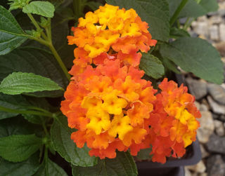 Picture of Lantana Lucky Flame