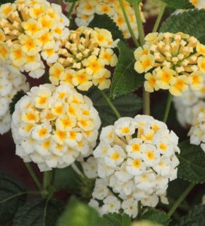 Picture of Lantana Lucky Lemon Glow