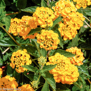Picture of Lantana New Gold