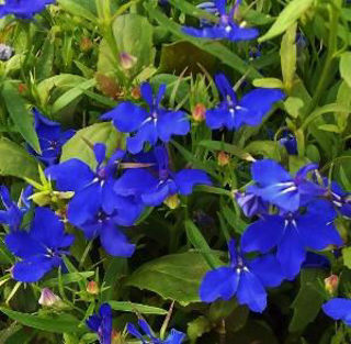 Picture of Lobelia Riviera Midnight Blue