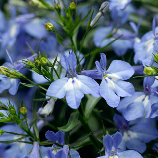 Picture of Lobelia Techno Heat Upright Blue