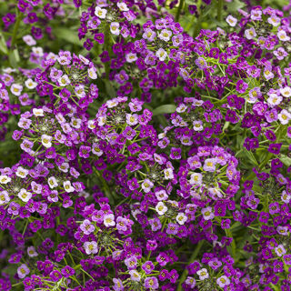 Picture of Lobularia Dark Knight