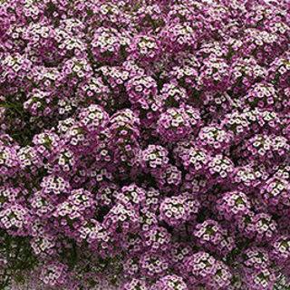 Picture of Lobularia Easy Breezy Purple