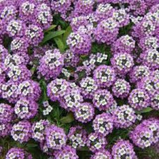Picture of Lobularia Lavender Stream