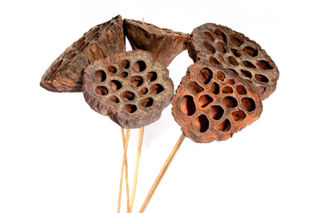 Picture of Lotus Pod Natural