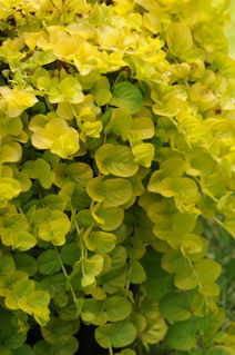 Picture of Lysimachia Creeping Jenny