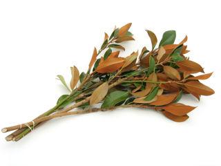 Picture of Magnolia 10'