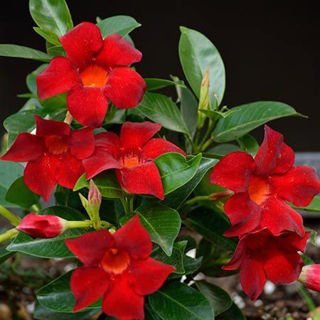 Picture of Mandevilla Hoop Red
