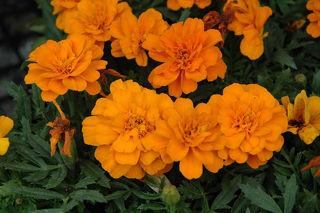 Picture of Marigold Durango Tangerine
