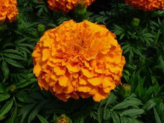 Picture of Marigold Taishan Orange