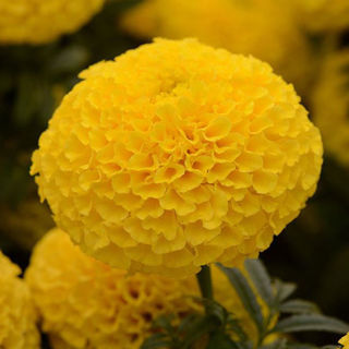 Picture of Marigold Taishan Yellow