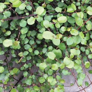Picture of Muehlenbeckia Creeping Wire Vine