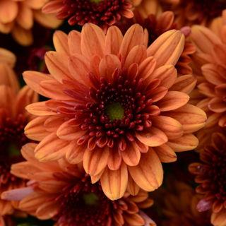 Picture of Mum Orange
