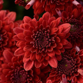 Picture of Mum Red