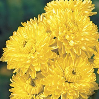 Picture of Mum Yellow